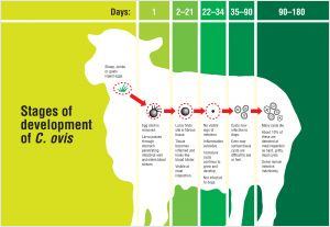 subpage-onthe-farm_Sheep-Measles-Lifecycle