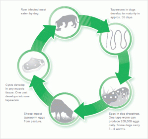 subpage-onthe-farm_Sheep-Measles-Lifecycle2